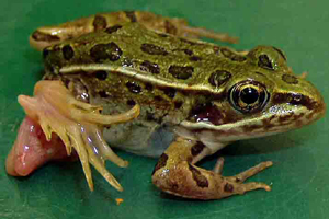 deformed frogs in minnesota University of wisconsin researcher pieter johnson, shown here netting deformed frogs in a marsh, has found the deformities are from a parasite that thrives in ponds.
