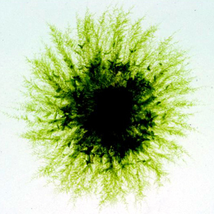 A colony of 28 day-old *Physcomitrella patens* grown in laboratory culture showing the leafy shoots in the center, with fine, radiating protonemal filaments growing outward.