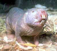A naked mole rat.