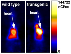 Transgenic hearts take up and burn more fat. PET shows a brighter signal over the heart of a transgenic animal, indicating that fat uptake and metabolism are greatly increased.