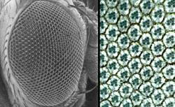 The compound eye of a fruit fly (left) and a micrograph of the cells that make up the eye