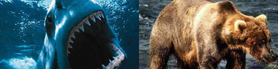 The shark and the grizzly bear are two predator species that prey upon humans to this day.