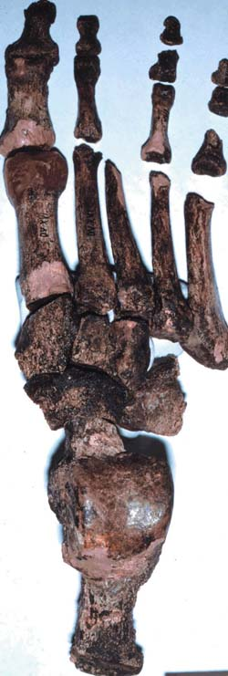 A 26,000-year-old early modern human,