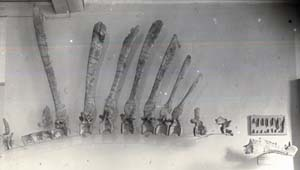 This photograph of Spinosaurus dinosaur bones  that Josh Smith found in a German museum is the only photographic proof of German researcher Ernst Stromer's discovery of *Spinosaurus*, a dinosaur similar in size to the famed *Tyranosaurus rex*.  All but Stromer's drawings of his find were lost when the Allies bombed out the Munich museum where the materials were held. The photo is significant historically but also as a comparison of Stromer's drawing for a significant understanding of the species' skeleton.