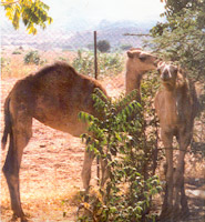 Assab and Massawa, the two camels that produced antibodies for the caffeine test, in Eritrea, a small country in northeast Africa