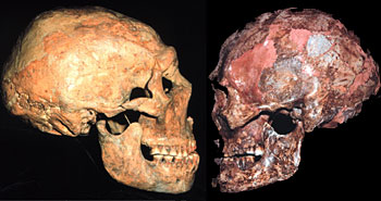 The most unusual characteristics throughout human anatomy occur in Modern Humans (right), argues Trinkaus, not in Neadertals (left).