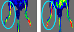 The image on the right shows increased blood flow to an injured mouse leg after the use of angiogenic cells.