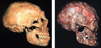 The most unusual characteristics throughout human anatomy occur in Modern Humans (right) argues Erik Trinkaus, Ph.D., not in Neandertals (left).