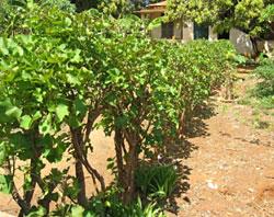 Jatropha plants