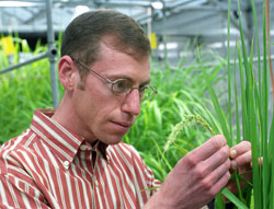 Kenneth Olsen, Ph.D., assistant professor of biology in Arts & Sciences, examines a cultivated rice plant in the Goldfarb Greenhouse.
