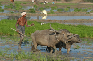 An Indian farmer uses oxen to prepare a field for planting.