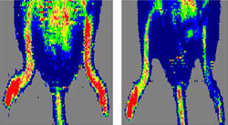 In these laser-doppler images, red color indicates good blood flow. Here a mouse lacking CD47 (left) recovers normal blood supply in an injured hind leg, while the injured hind leg of a normal mouse (right) is slower to heal.