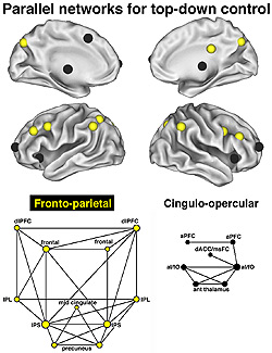 Scientists exploring the upper reaches of the brain's command hierarchy were astonished to find not one but two brain networks in charge, represented by the differently-colored spheres on the brain image above. Starting with a group of several brain regio