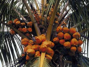A biologist at Washington University in St. Louis is embarking on the task of understanding the plant's history by exploring the genetics of the coconut (*Cocos nucifera L.*).