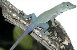 *Anolis grahami*, a trunk-crown anole, lives high on the trunk and among among branches in Jamaica