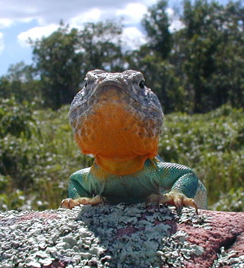 Restoration as science: case of the collared lizard | The Source