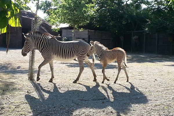 Baby zebra is latest success in university-zoo research partnership