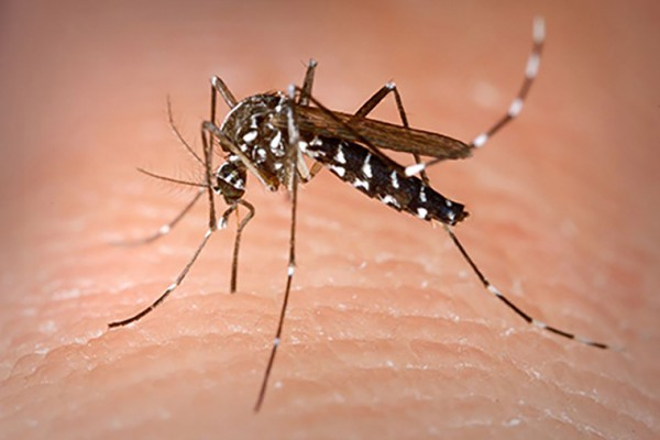 Hot on the trail of the Asian tiger mosquito