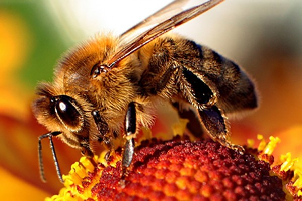Manganese speeds up honey bees