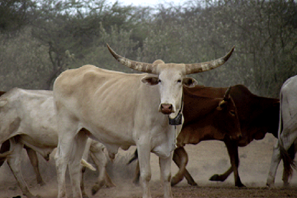 Ancient Africans used 'no fly zones' to bring herds south