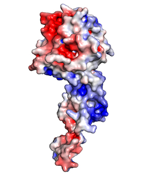A protein — shown in red, white and blue — typically coats the genome of the Ebola virus, providing protection from enzymes that can destroy the virus's genetic material. This protein coat is removed to allow the virus to replicate its genome in infected cells. New research led by Washington University School of Medicine shows that interfering with the removal and the return of the protein coat to the viral genome can kill the Ebola virus, a discovery that opens the door to more effective treatments./AMARASINGHE LAB
