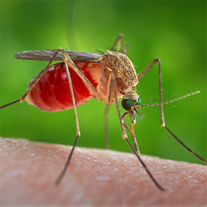 Mosquitoes are known to infect people and animals with West Nile virus. Studying West Nile virus infection in mice, scientists at Washington University School of Medicine in St. Louis have shown that an antiviral compound tightens the blood-brain barrier, making it harder for the virus to invade the brain.