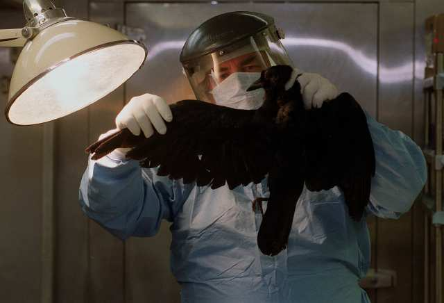 Pathologist examining dead crow