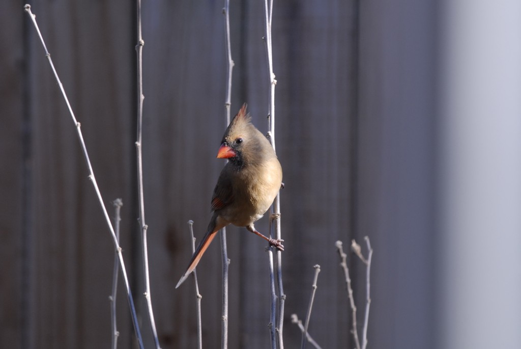 The Northern Cardinal is a homebody and like the other birds in this article stays in St. Louis all year round.