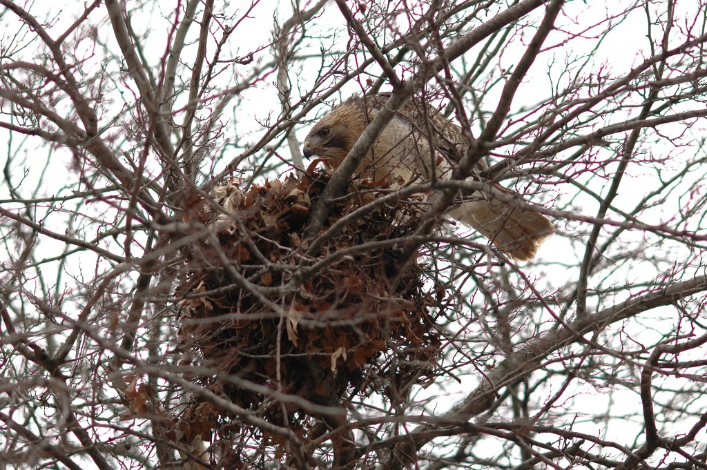 Red-tailed Hawk nesting on Danforth Campus