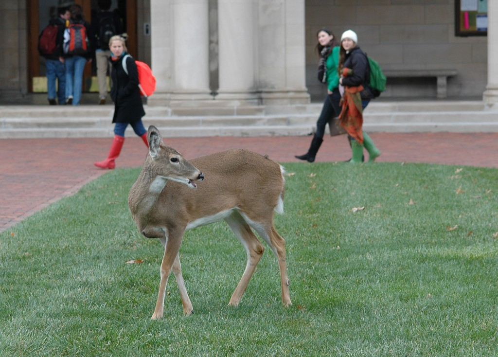 Deer in Brookings Quadrangle
