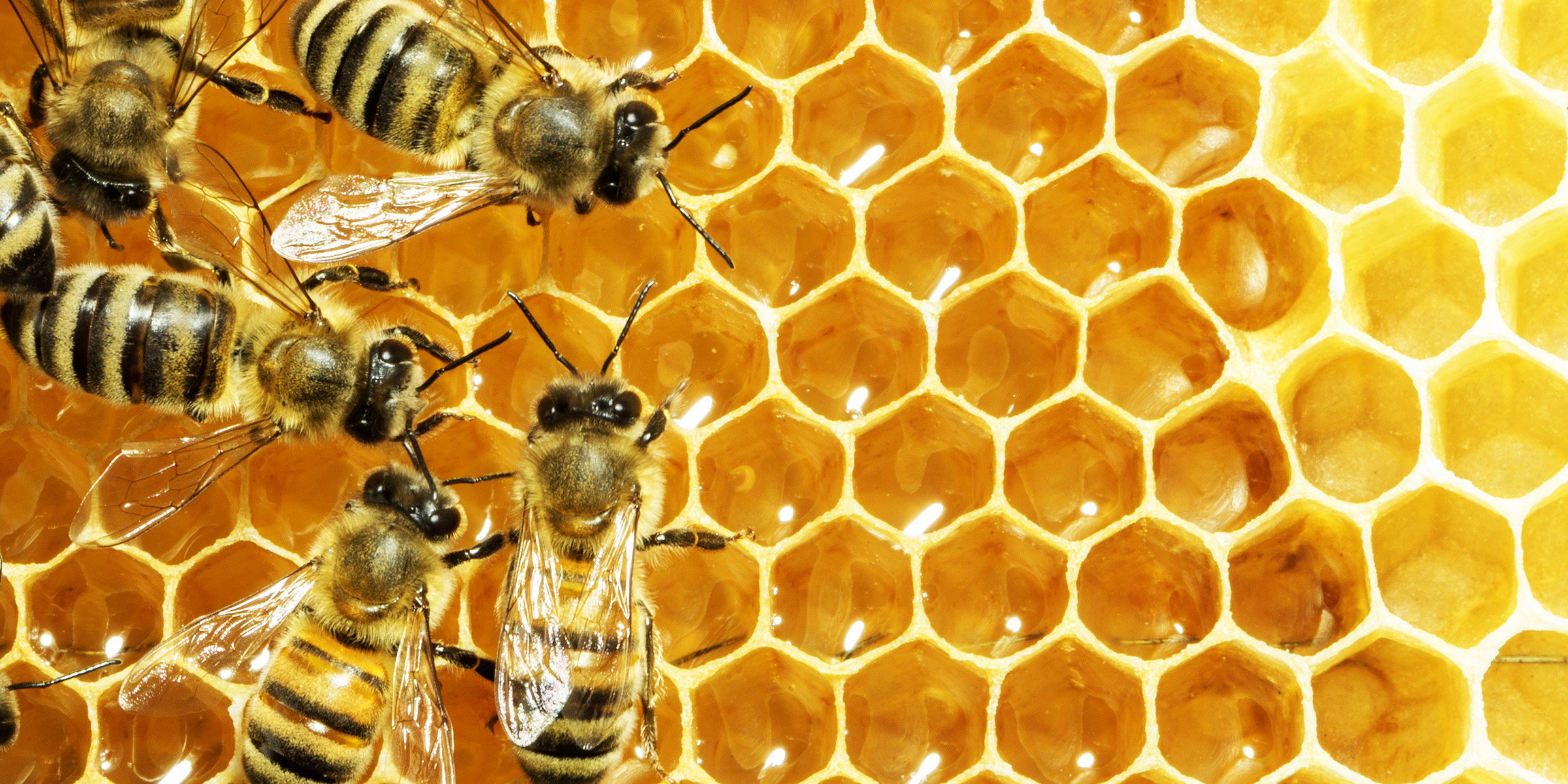 Conflict among honey bee genes supports theory of altruism ...