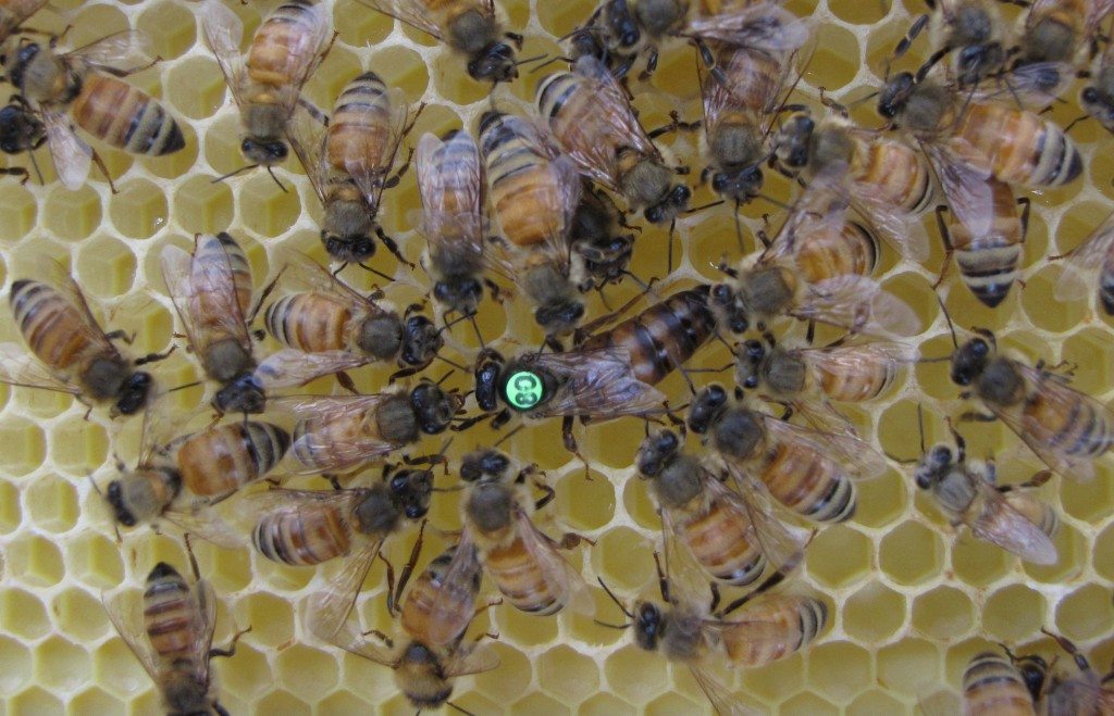 Worker bees on the hive