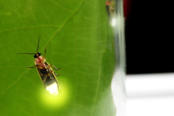 Fireflies use oscillation to communicate. A Washington University in St. Louis engineer has found a new way to control chemical oscillation that could help regulate biorhythms involving the heart and brain.