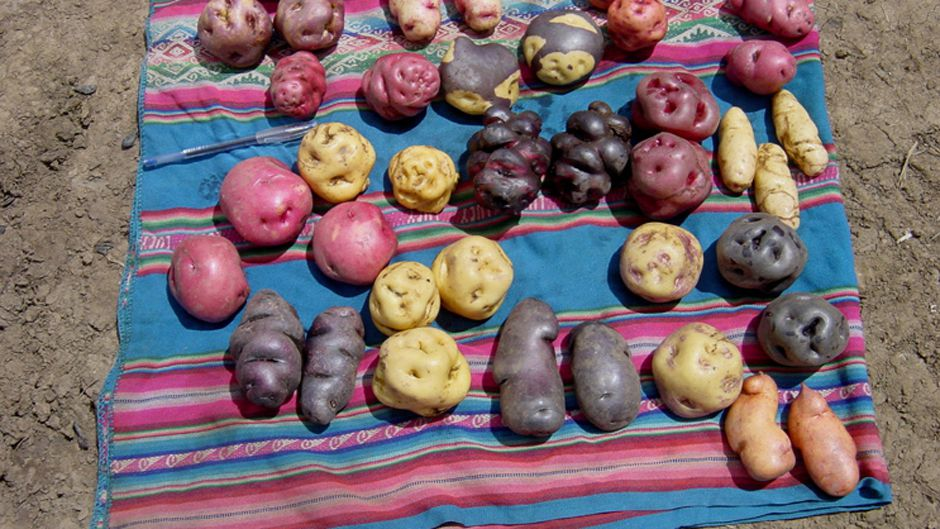Different potato varieties in the Potato Park Different potato varieties in the Potato Park, Cusco, Peru