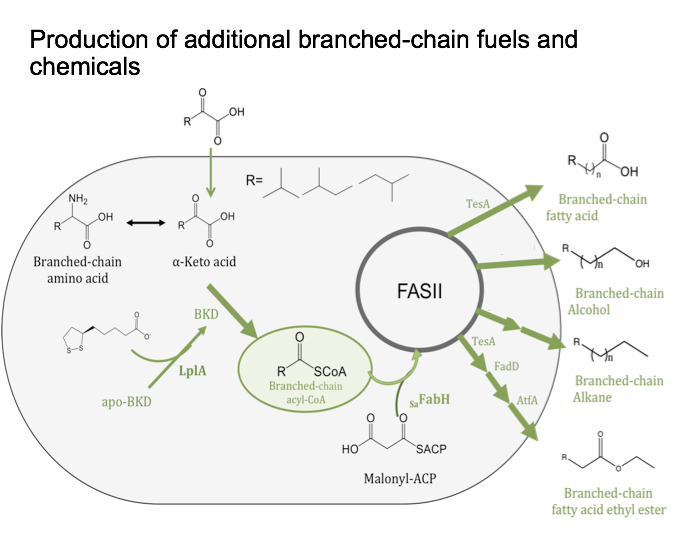 Engineers at Washington University in St. Louis came up with a protein fix to better manufacture branch-chain fatty acid (BCFA) in e. coli bacteria. The chemical fix will provide a purer product and could make it easier to harvest from the bacteria.