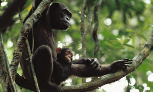 Wild chimpanzee youngster with adult.
