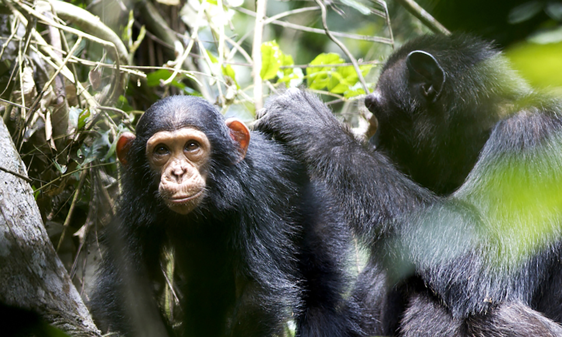wild chimpanzee mothers teach young to use tools video study
