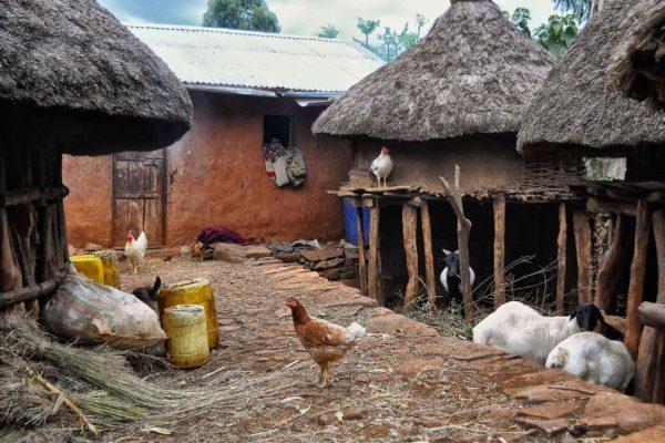 Chickens in Ethiopian village