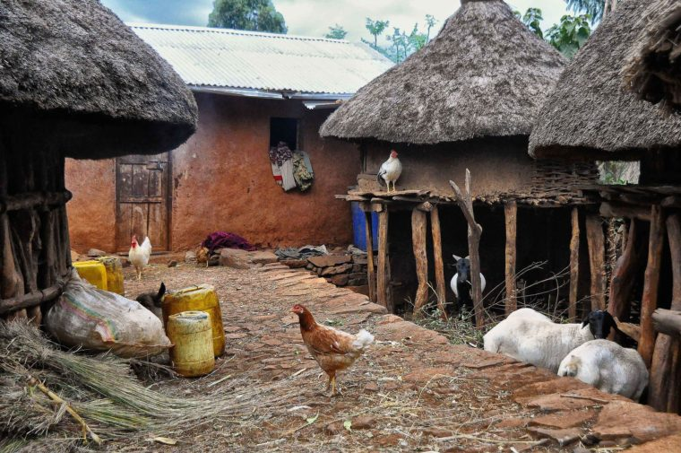 Chickens in Ethiopian village
