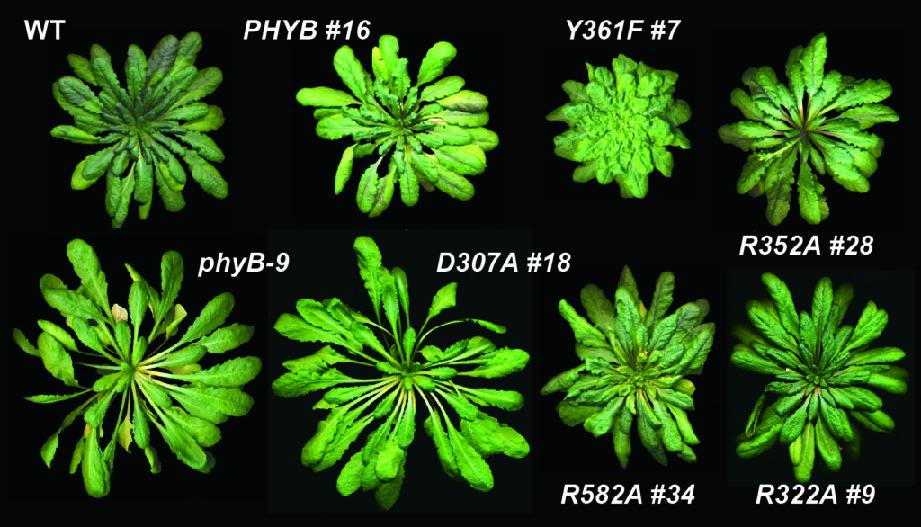 Phytochrome mutants grow very differently from wild type plant (upper left) under the same conditions. Work with these mutants reveals that phytochrome is both a light and temperature sensor. Credit: Vierstra Lab