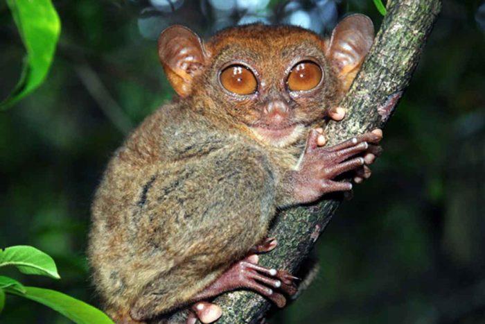 tarsier in tree