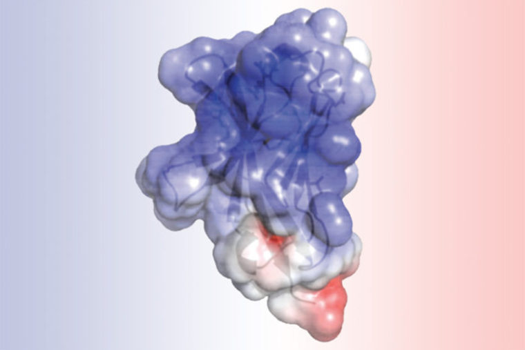 A new study at Washington University School of Medicine in St. Louis details the structure of TREM2, a protein involved in Alzheimer's disease and other neurodegenerative disorders. Researchers found that mutations associated with Alzheimer's alter the surface of the protein, while mutations linked to another brain disorder disrupt the protein's interior. Such alterations may impair TREM2's normal role in cleaning up cellular waste via a process called phagocytosis. (Image: Daniel L. Kober)