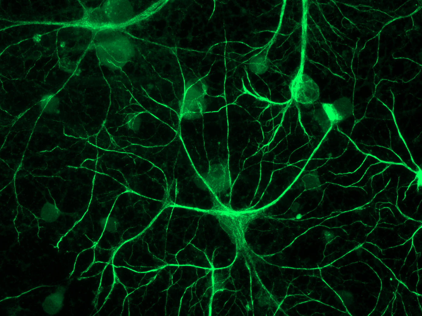 Clock stars: Astrocytes keep time for brain, behavior ...
