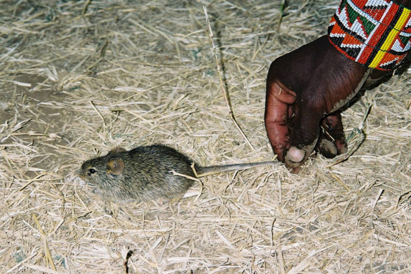 House mouse from a Maasai village