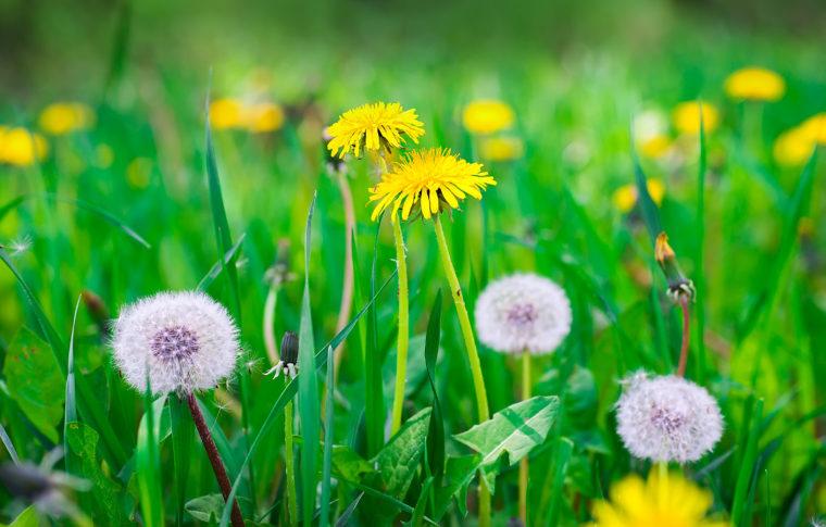 dandelion seeds weed identification washington dandelions lawn louis st university source lab pipette benefits tea flower kill maligned engineer discovered