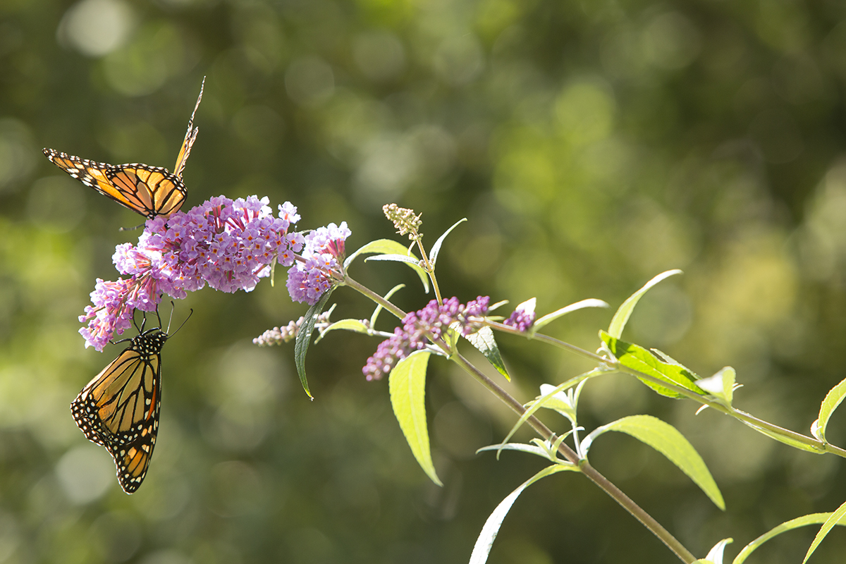 butterflies perch on a flower