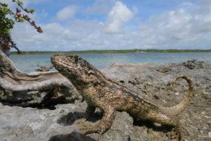 Leiocephalus carinatus lizard
