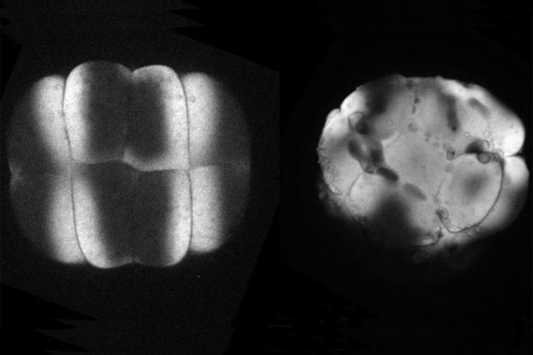 Developing zebrafish embryos