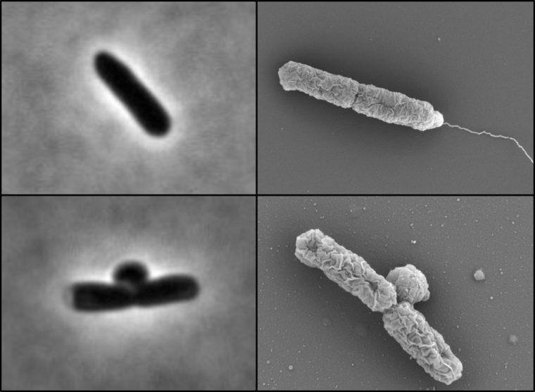 Mutant E. coli bacteria