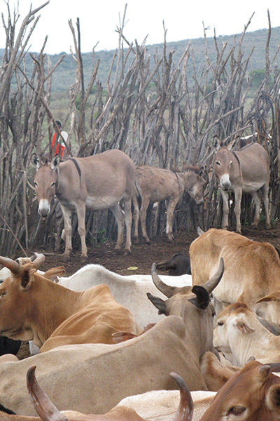 Makeshift cattle corrals, such as this one at a modern Maasai encampment in Kenya, have been used for thousands of years to provide cattle overnight protection. Image courtesy of Fiona Marshall.